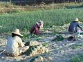 Harvesting Onions (8409989021).jpg