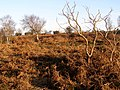 Heathland near Old Gate, Picket Post, New Forest - geograph.org.uk - 296683.jpg