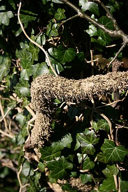 Hedera-helix-aerial-roots.jpg