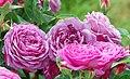 Heidi-Klum-Rose (Tantau 2006) 01.jpg