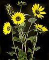 Helianthus lenticularis Doug. - Annual Wild Sunflower (17098341141).jpg