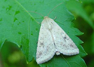http://upload.wikimedia.org/wikipedia/commons/thumb/7/78/Helicoverpa_armigera.jpg/300px-Helicoverpa_armigera.jpg