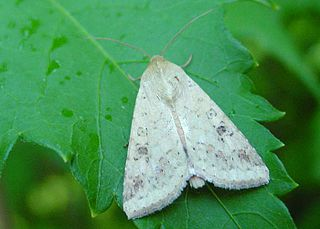 <i>Helicoverpa armigera</i> Species of moth