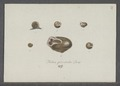 Helix personata - - Print - Iconographia Zoologica - Special Collections University of Amsterdam - UBAINV0274 089 01 0042.tif