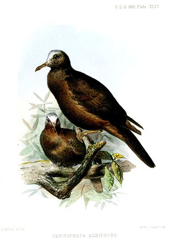 1861 in birding and ornithology -  New Guinea bronzewing Proceedings of the Zoological Society of London 1861. Plate by Joseph Wolf