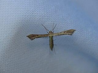 <i>Hepalastis pumilio</i> species of insect