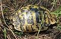 Hermann's Tortoise. Testudo hermanni (43973993264).jpg
