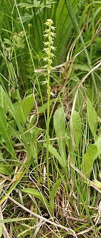 Herminium monorchis 230705.jpg