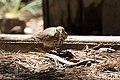 Hermit Thrush Reef Townsite CG Carr Canyon Sierra Vista AZ 2017-04-30 11-23-24 (33550041134).jpg