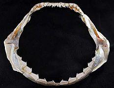 Jaws Male Upper Teeth