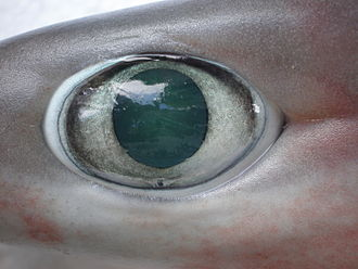 Shark - Eye of a Bigeyed sixgill shark (Hexanchus nakamurai)