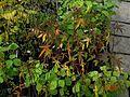 Hibiscus coccineus - Flickr - peganum.jpg