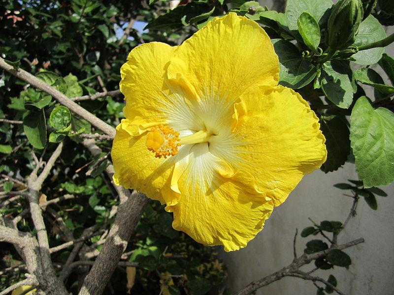 File:Hibiscus rosa-sinensis (giallo) - 02.JPG
