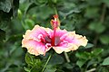 Hibiscus rosa-sinensis Erin Rachel 1zz.jpg