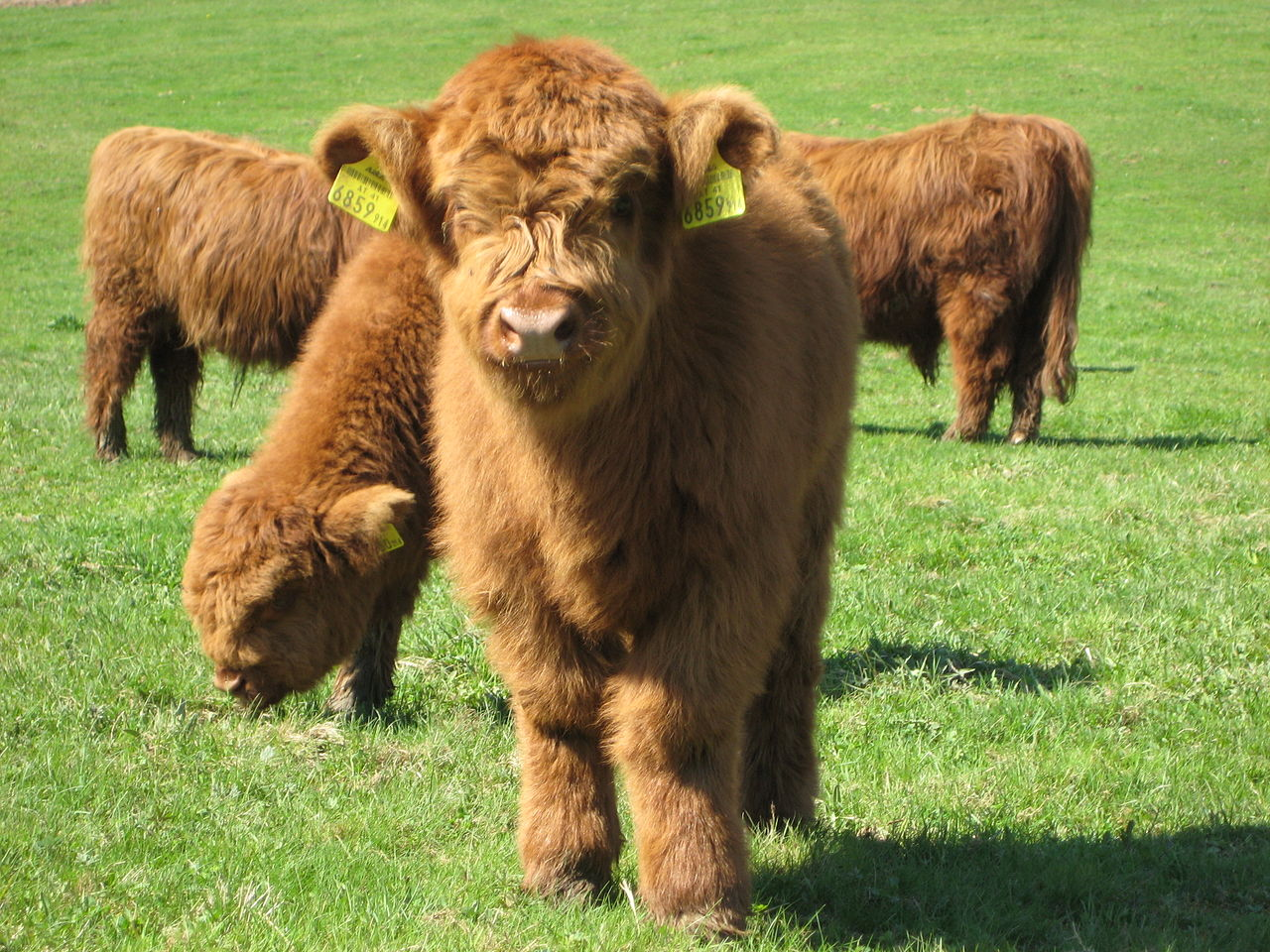 Baby highland cow - photo#11