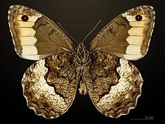240px hipparchia fagi mhnt cut 2013 3 30 cahors male ventral