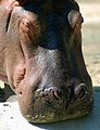 Hippo (4149785891).jpg