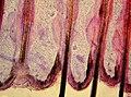 Histology of Felidae hair follicles - 40X view.jpg