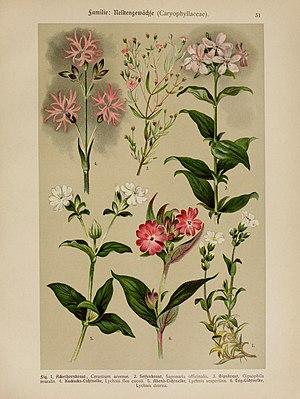 Gypsophila muralis - Illustration from Hoffmann-Dennert botanischer Bilderatlas in 1911