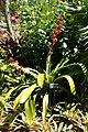 Hohenbergia stellata - Naples Botanical Garden - Naples, Florida - DSC09718.jpg