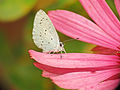 Holly Blue on pink (20158646918).jpg