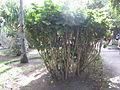 Holmskioldia sanguinea - Jardin d'Éden.JPG