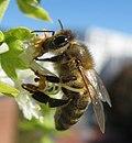 Honigbiene-Basilikum-04.jpg