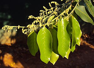 Hopea parviflora - Leaves and buds
