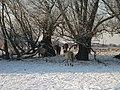 Horses Old Waal in winter near Nijmegen Ooij polder - panoramio.jpg