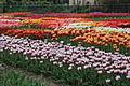 Hortus Bulborum 2014-04-24-06.jpg