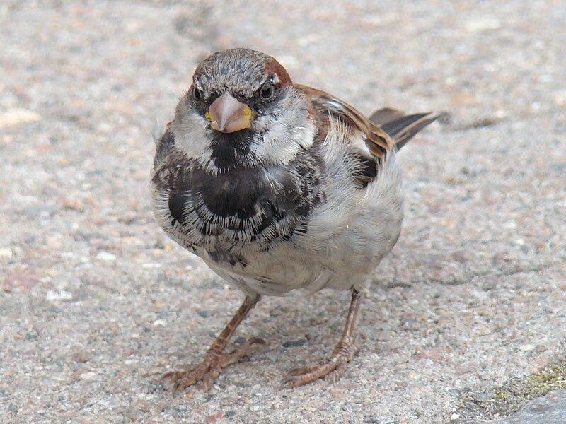 File:House Sparrow-Mindaugas Urbonas-3.jpg