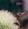 Hoverflies with flower PLoS.png