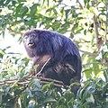 Howler Monkey (16547664776).jpg