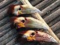 Hunting Wreathed Hornbill Rhyticeros undulatus 1.jpg