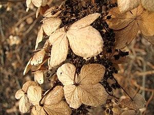 Hydrangea flowers, dead in winter, near Columb...
