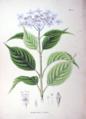 Hydrangea macrophylla SZ56.png