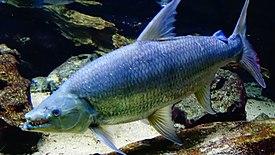 Hydrocynus goliath - Poisson-chien - Aqua porte Dorée 08.JPG