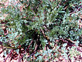 Hypecoum procumbens Plant 25April2009 CampodeCalatrava.jpg