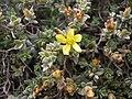 Hypericum aegypticum Malta 02.jpg