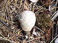 Iberus gualterianus alonensis3.JPG