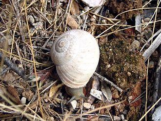 Helicidae - Iberus gualtieranus alonensis