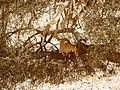 Ibex at Eyn Ovdat Nature Reserve - panoramio - ekeidar.jpg