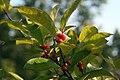 Ilex verticillata x serrata Harvest Red 1zz.jpg
