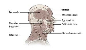 Masseter muscle - Image: Illu head neck muscle