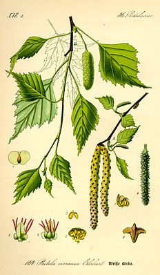 Sandbirke (Betula pendula), Illustration