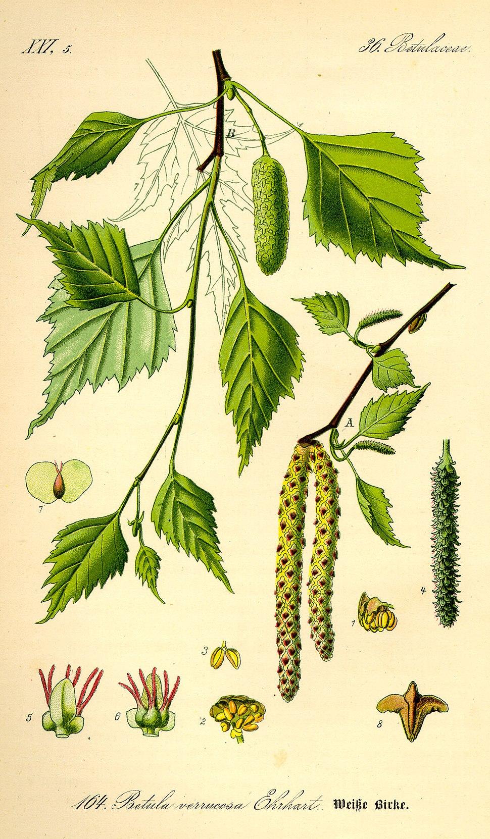 Bidueiro branco ou prateado (Betula pendula)