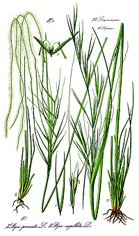 Illustration Stipa pennata0
