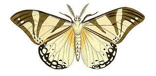 <i>Otroeda cafra</i> species of insect