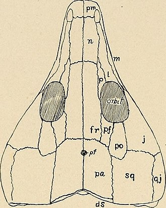Cynosaurus - Parietal foramen (labeled pf in image) of marine reptile
