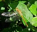 Immature male Common Darter. Sympetrum striolatum (42299307900).jpg